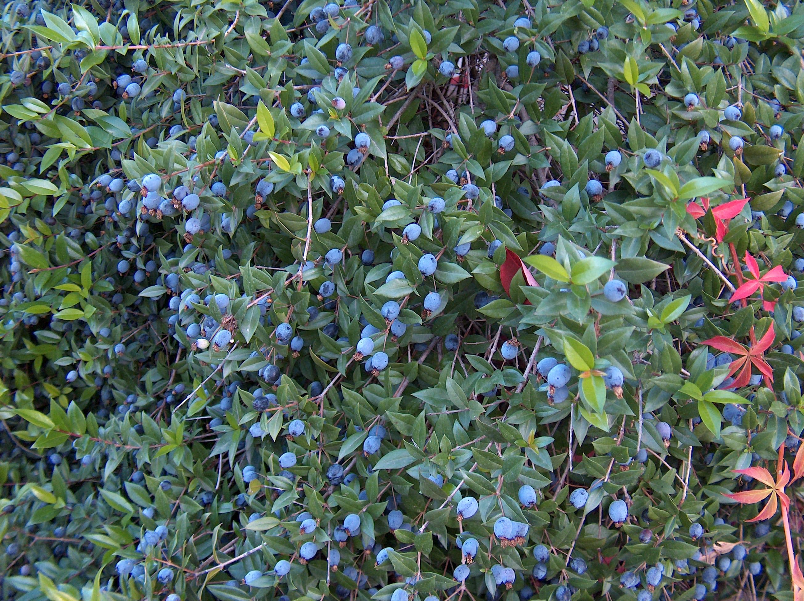 Murta fantastipedia for Myrte arbuste